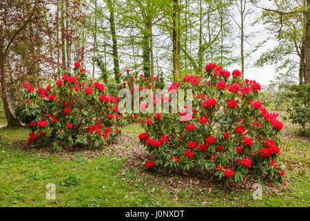 rhododendron b sche im fr hling botanischer garten riga lettland stockfoto bild 130729184. Black Bedroom Furniture Sets. Home Design Ideas