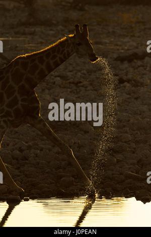 Giraffe trinken an einer Wasserstelle - Stockfoto