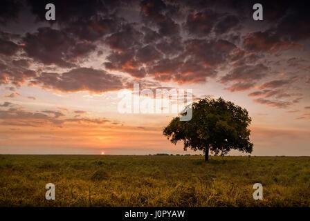 Einzigen Baum unter glühenden Himmel in der Abenddämmerung mit Sonne den Horizont berührt. Northern Territory, Australien - Stockfoto