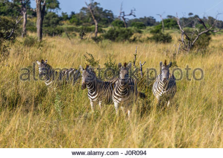 Eine Gruppe von vier Zebra stehen lange Gras, mit Blick auf die Kamera in den Chobe National Park.