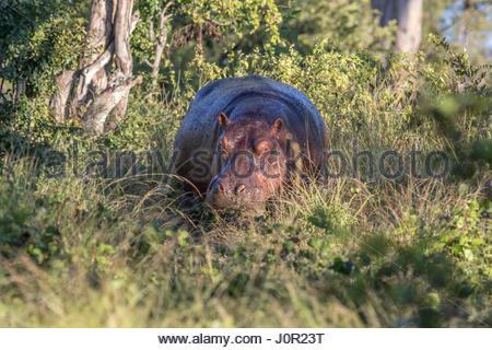 Einem nassen taucht Nilpferd in Vegetation an den Ufern des Sambesi-Flusses in der Victoria Falls National Park, - Stockfoto