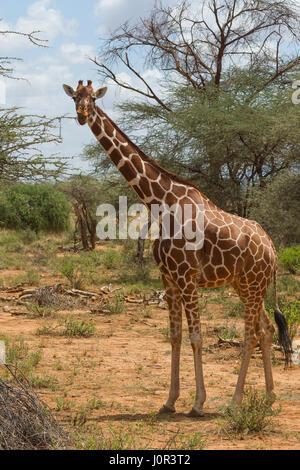 Netzartige Giraffe (Giraffa Plancius Reticulata) auf Warnung, Samburu National Reserve, Kenia - Stockfoto