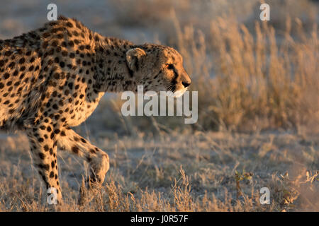 Gepard im Morgenlicht. - Stockfoto