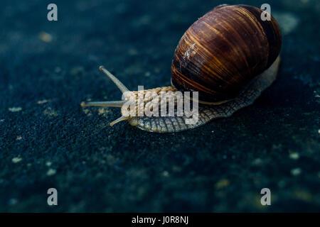 Nahaufnahme einer Schnecke auf einem blauen Stein Hintergrund. - Stockfoto