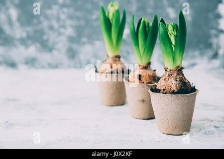 Drei Hyazinthenblumen im Rasen Töpfe - Stockfoto