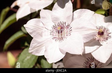 Weiße duftende Sterne Clematis Blume mit einem lila-Center blüht auf ...