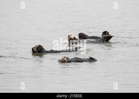 Südlichen Seeotter, (Enhydra Lutris), entspannen Sie sich auf einen ruhigen Tag in Elkhorn Slough