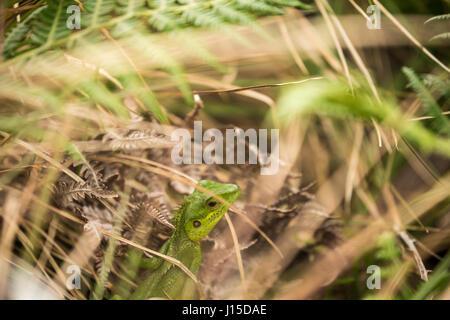 Green Garden Lizard, Sinharaja Forest (Sri Lanka) - Stockfoto
