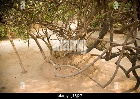 Baum in Nidhivan, Vrindavan, Uttar Pradesh, Indien, Asien - Stockfoto