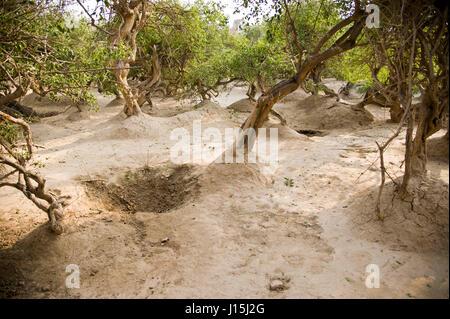 Baum in Nidhivan, Vrindavan, Uttar Pradesh, Indien, Asien Stockfoto