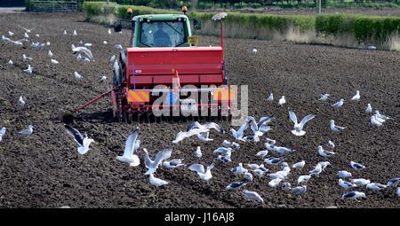 Ein Bauer sein Feld Bohren erhält unerwünschten Aufmerksamkeit aus einer Herde von Möwen. - Stockfoto