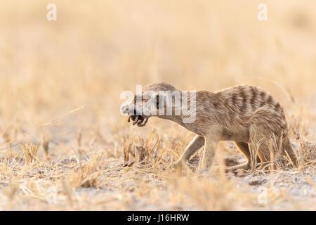 Junge Erdmännchen mit einem Pavian Spinne grub er nur in der Kalahari - Stockfoto