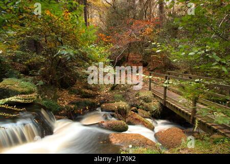 Atemberaubende Herbstlaub im Wald im malerischen Wyming Brook Nature Reserve in Sheffield Stadt Peak District, England UK