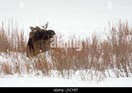 Elch / Elch (Alces Alces), junger Stier mit nur einem Geweih, Fütterung auf Büschen, im Schnee, Winter, Yellowstone - Stockfoto