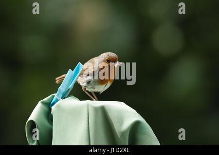 Erwachsenen Robin Vogel stand neben einem Pflock auf einer Wäscheleine Trockner mit Grub im Schnabel im heimischen - Stockfoto