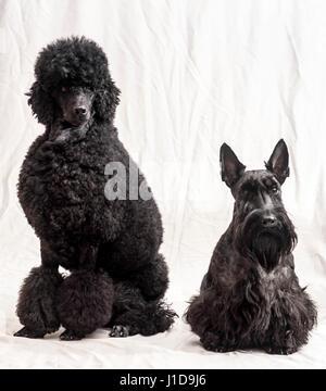 Studioaufnahme eines schwarz Medium oder Moyen Pudel mit einem Scottish Terrier-Rassehunde