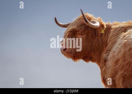 Highland Kuh, Hochlandrinder, behaarte Moo Coo - Stockfoto