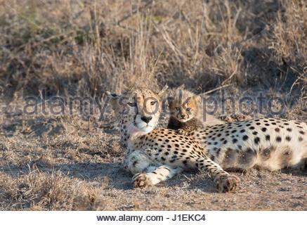 Eine Mutter Gepard, Acinonyx Jubatus, mit ihr sechs Wochen altes junges. - Stockfoto