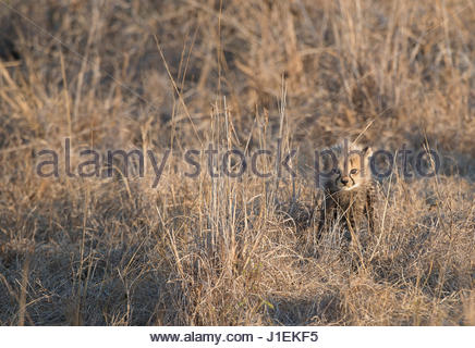 Eine sechs Wochen altes Gepard Cub, Acinonyx Jubatus, Spaziergänge durch die hohe Gräser. - Stockfoto