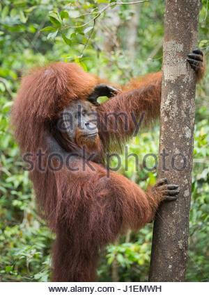 Eine wilde, dominanten männlichen Bornean Orangutan, Pongo Pygmaeus, hält einen Baumstamm in Tanjung Puting Nationalpark. - Stockfoto