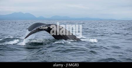 Buckelwal zeigt seine Fluke wie es einen Tauchgang beginnt - Stockfoto