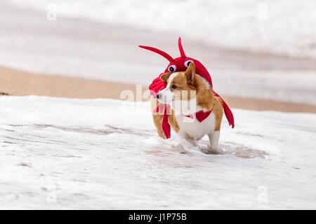 Corgi Strandtag. Welsh Corgi in Tracht am Strand spielen. - Stockfoto
