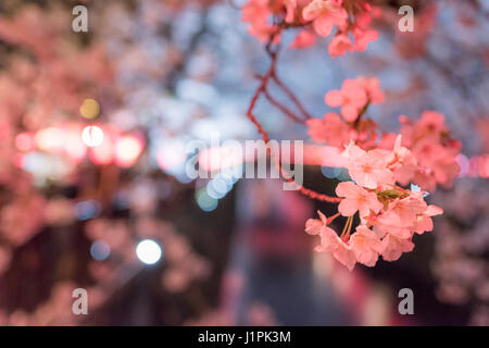 Kirschblüte, Meguro River, Meguro-Ku, Tokyo, Japan - Stockfoto