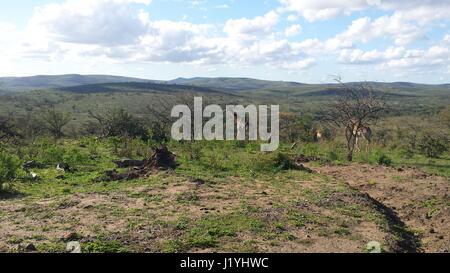 Einige entfernten Giraffen in der südafrikanischen Savanne - Stockfoto