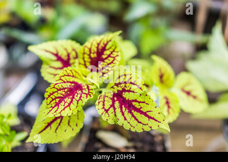 pflanze mit roten bl ttern coleus gemalt brennnessel stockfoto bild 33891994 alamy. Black Bedroom Furniture Sets. Home Design Ideas