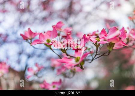 Makro Nahaufnahme der weiße Hartriegel Blumen auf Baum Stockfoto ...