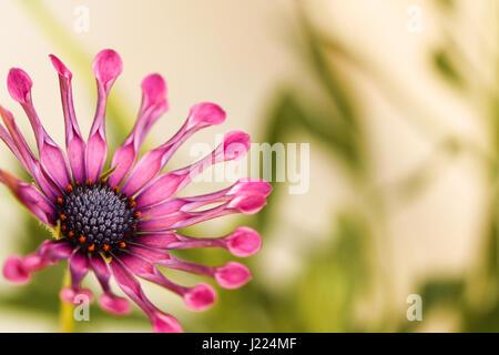 Blume. Optisch ansprechende Herbers. Whirligig Sorte. Lavendel-lila Scheibe mit orangefarbenen Akzenten ist umgeben - Stockfoto
