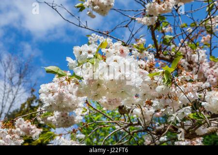 Ornamentale weiß blühende Kirsche Baum Blüte (Malus) blühen im ...