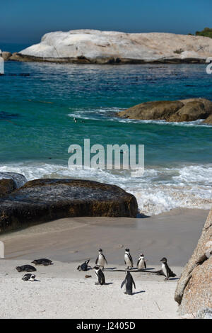 Afrikanische Pinguine am Boulders Beach (das Teil des Table Mountain National Park) in der Nähe von Simons Town, - Stockfoto