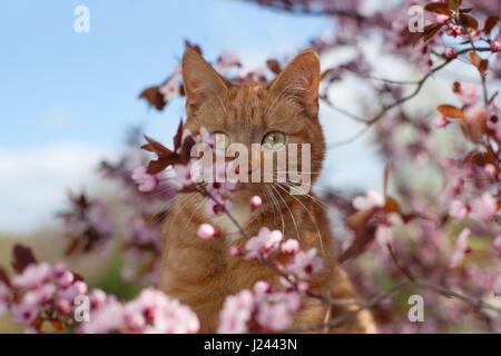 Schöne rote Kater in Blüten des Baumes blühenden Sauerkirsche - Stockfoto