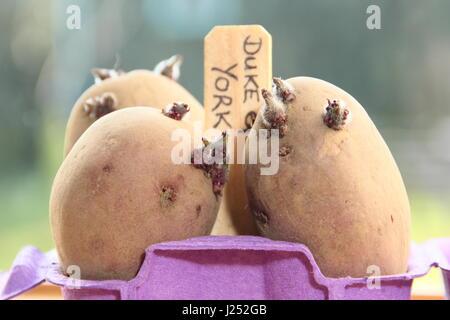 Keimende kartoffeln vor der pflanzung im gem segarten - Fensterbank englisch ...
