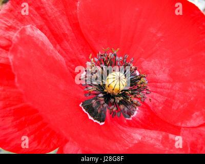 Deutschland, Rheinland-Pfalz, Bremm, close-up der Mohnblüte an der Mosel-Steig - Stockfoto