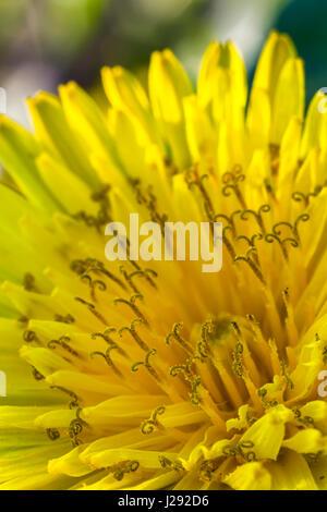 Schönheit gelbe Blume Löwenzahn lässt sich - Stockfoto
