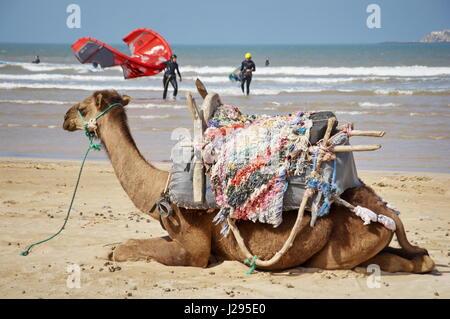 Essoauira KITESURFEN Kitesurf Destination in Marokko am Atlantik Wüste kamel Attraktion - Stockfoto
