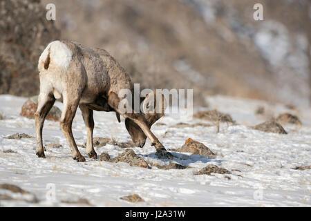 Rocky Mountain Bighorn Sheep / Dickhornschaf (Ovis Canadensis), ram im Winter, Schnee, scharren, auf der Suche nach - Stockfoto