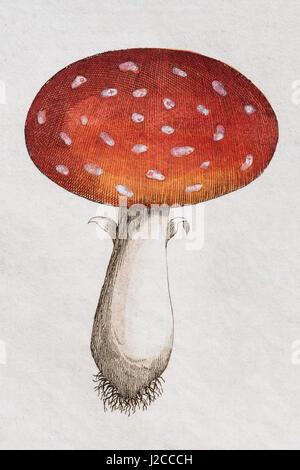 Fliegenpilz (Amanita Muscaria), handkoloriert Kupferstich von Friedrich Justin Bertuch Picture Book für Kinder - Stockfoto