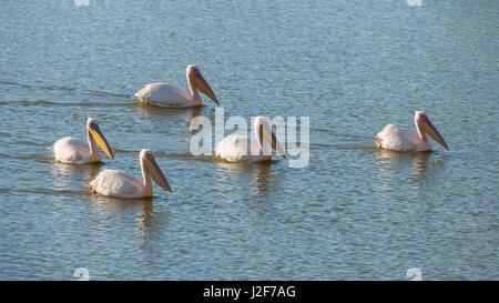 Gruppe der große weiße Pelikane schwimmen in einem See - Stockfoto