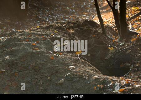 Eingang zu einem Dachs Sett am Rande des Waldes - Stockfoto