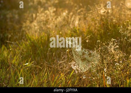 Spider Web, Indiantown, Florida, Everglades Entwässerung - Stockfoto