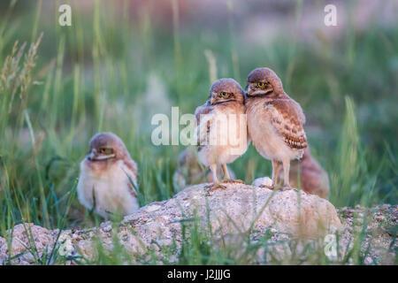 USA, Wyoming, Sublette Grafschaft, Kanincheneule Küken am Fuchsbau Eingang stehen und lehnen Sie sich auf einander. - Stockfoto