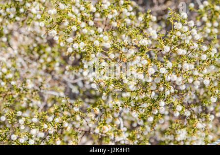 Makro Nahaufnahme von Chaparral Pflanze mit fuzzy Blüten - Stockfoto