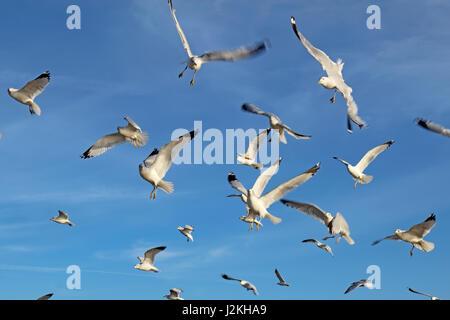 Ring-billed Möwen (Larus Delawarensis) auf der Flucht vor einem strahlend blauen Himmel mit weißen Cirrus-Wolken - Stockfoto