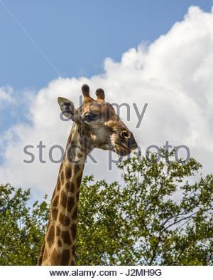 Eine Nahaufnahme von einer Giraffe Kopf gegen ein blauer Himmel mit weißen Cumulus-Wolken. - Stockfoto