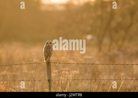 Sumpfohreule (Asio Flammeus) thront auf einem Stacheldrahtzaun Beitrag im Winter Sonnenuntergang - Stockfoto