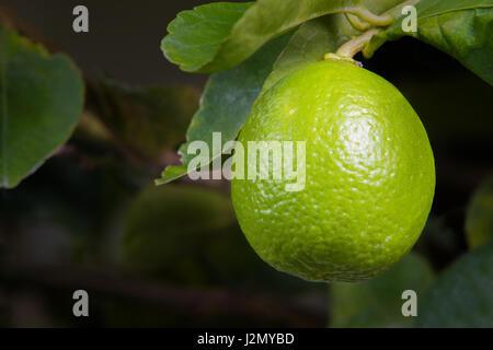 Große einzelne Kalk Früchte hängen von seiner Niederlassung - Stockfoto