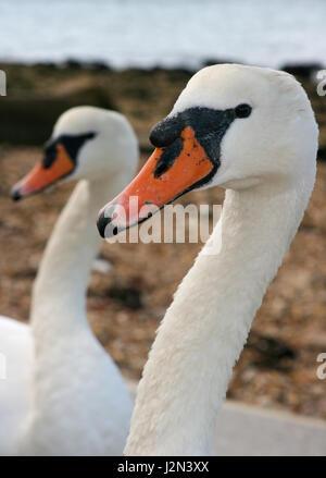 Ein Kopf und Hals Profil Nahaufnahme von 2 zwei Paar Paar schwan Schwäne zusammen weg von der Kamera von rechts - Stockfoto